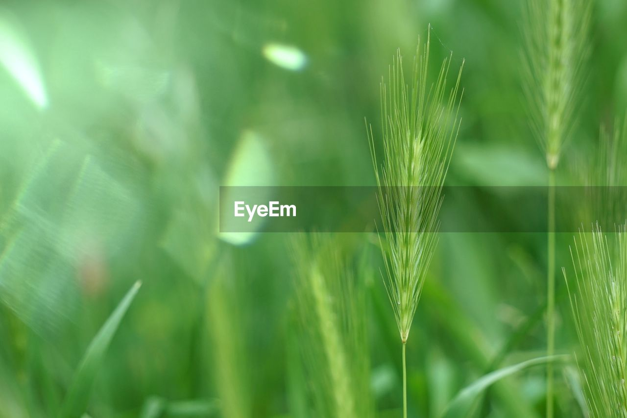 growth, green color, plant, beauty in nature, nature, no people, close-up, selective focus, day, tranquility, agriculture, crop, field, land, cereal plant, freshness, focus on foreground, outdoors, farm, rural scene, blade of grass