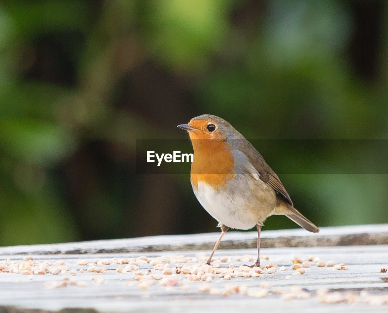 one animal, bird, animals in the wild, animal themes, robin, animal wildlife, perching, focus on foreground, day, close-up, nature, outdoors, no people, beauty in nature