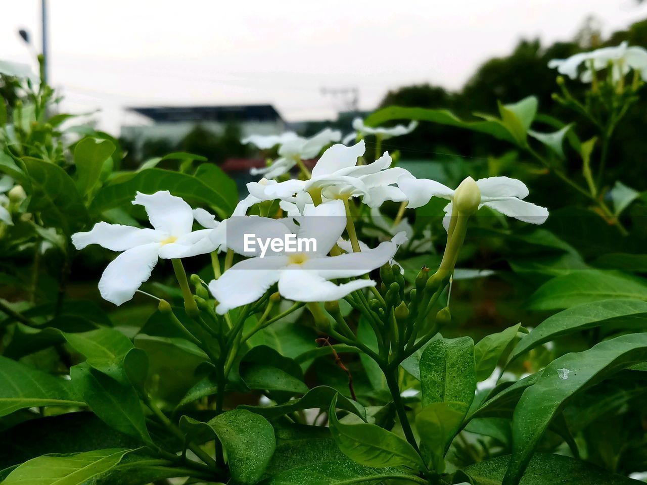 flower, plant, leaf, growth, nature, beauty in nature, white color, petal, green color, freshness, fragility, no people, blooming, outdoors, close-up, day, flower head