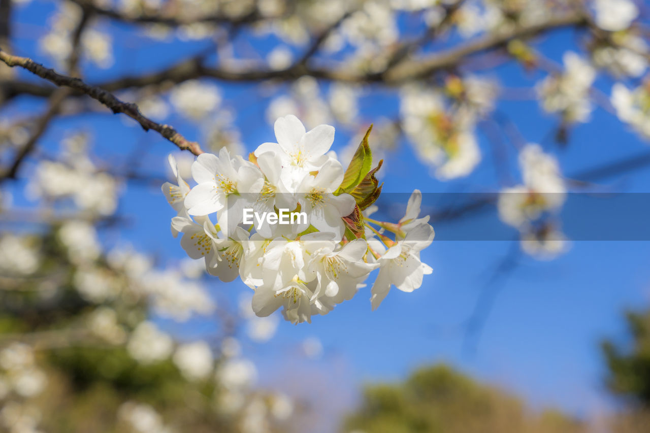 flower, flowering plant, plant, fragility, growth, vulnerability, beauty in nature, freshness, petal, tree, close-up, focus on foreground, flower head, nature, white color, blossom, springtime, day, branch, inflorescence, pollen, no people, cherry blossom, cherry tree, spring