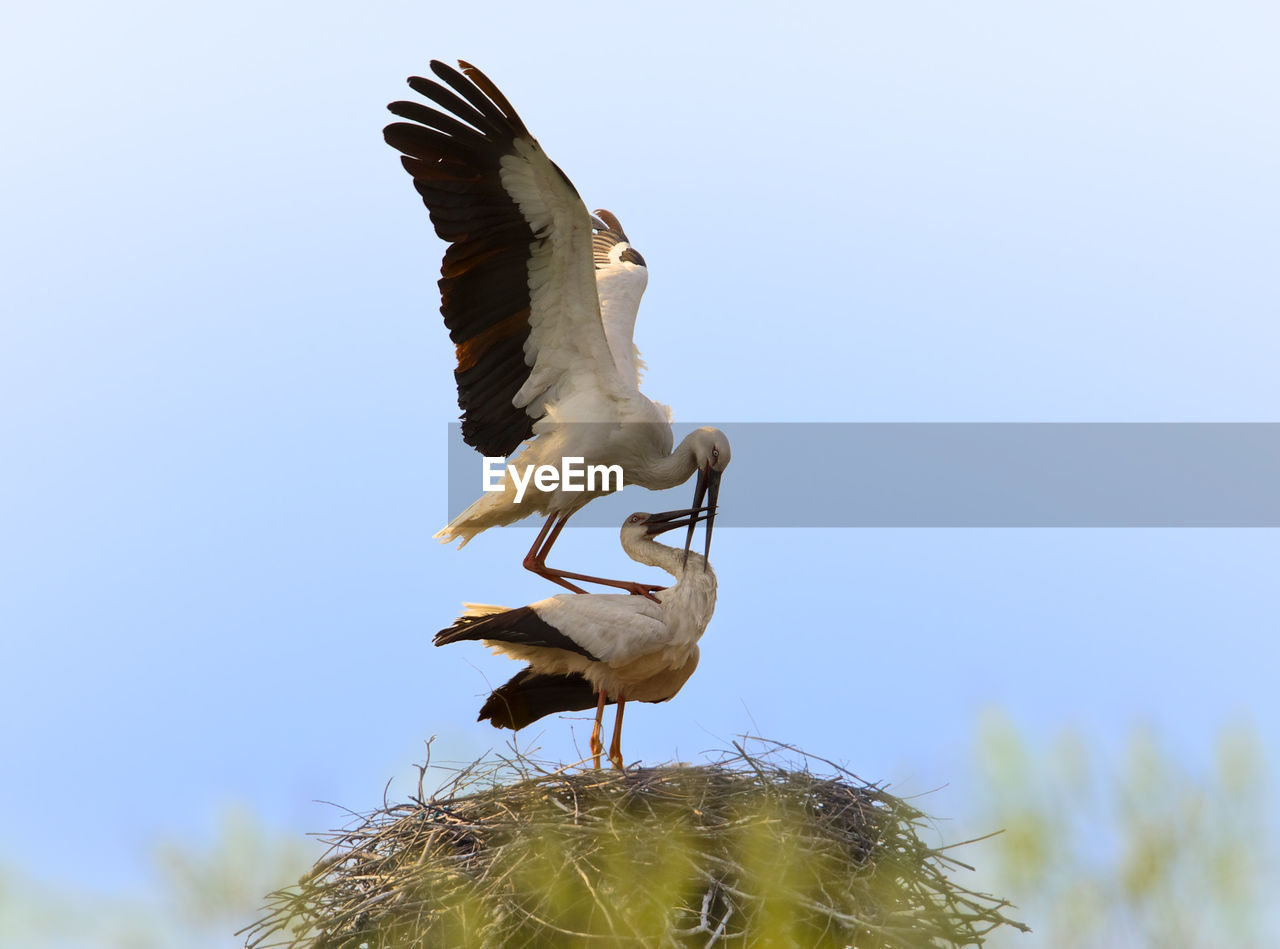 White Storks On Nest Against Clear Sky