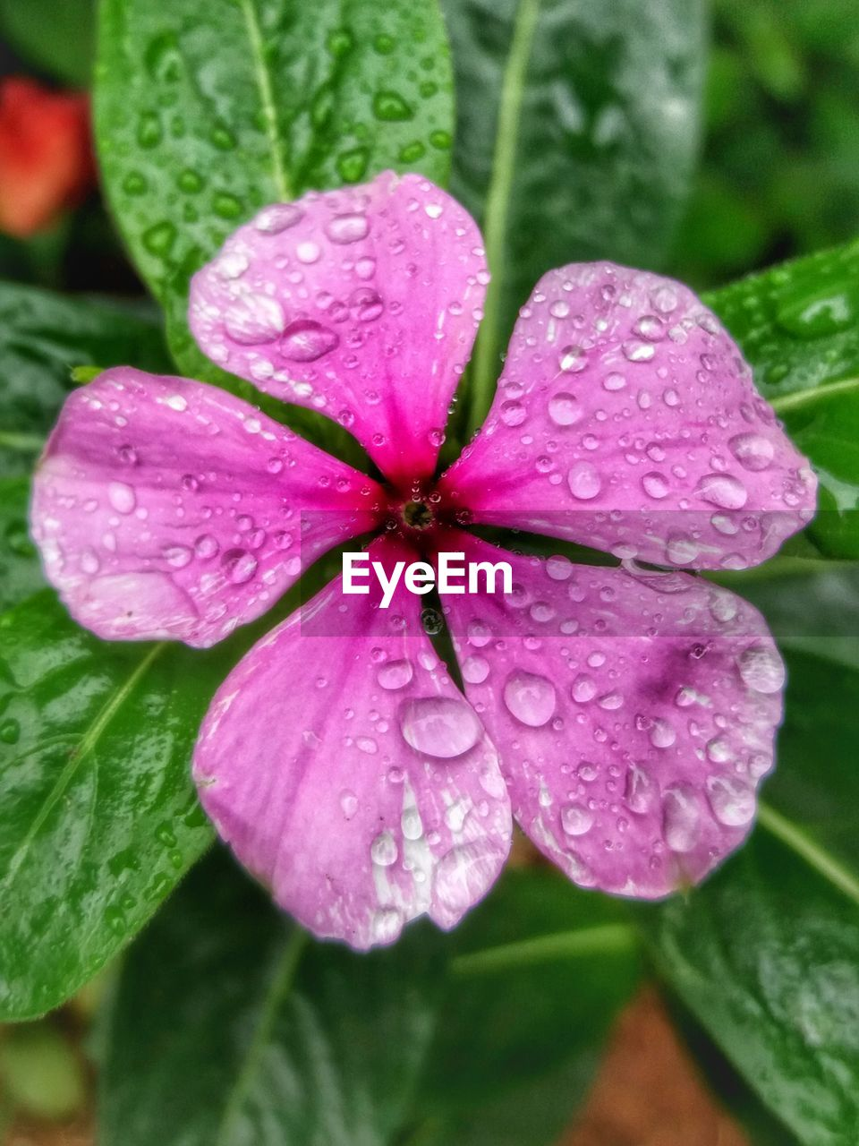 growth, drop, water, wet, petal, day, fragility, flower, beauty in nature, leaf, close-up, flower head, nature, periwinkle, freshness, blooming, no people, outdoors