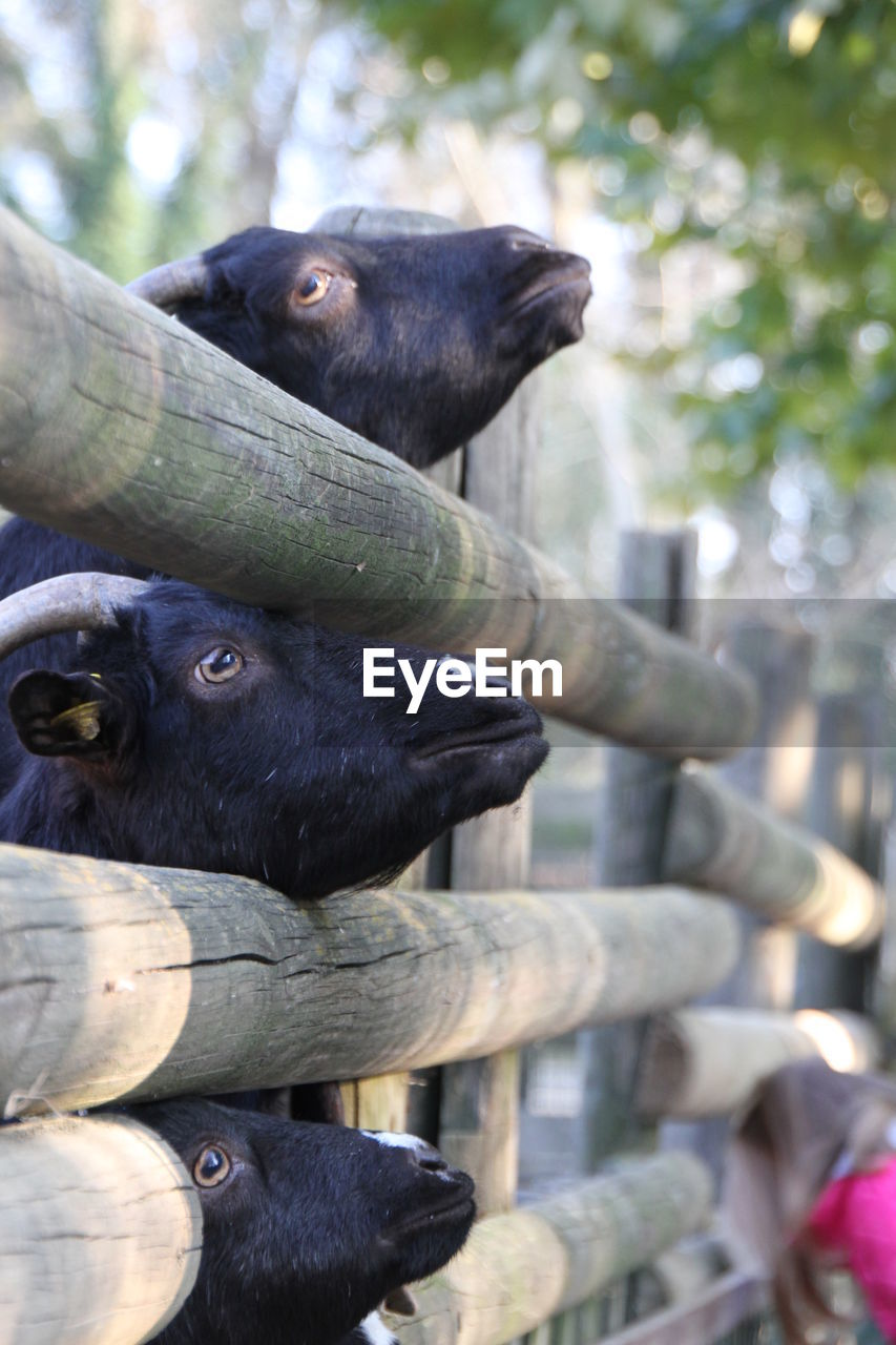 Goats Stuck In Wooden Fence