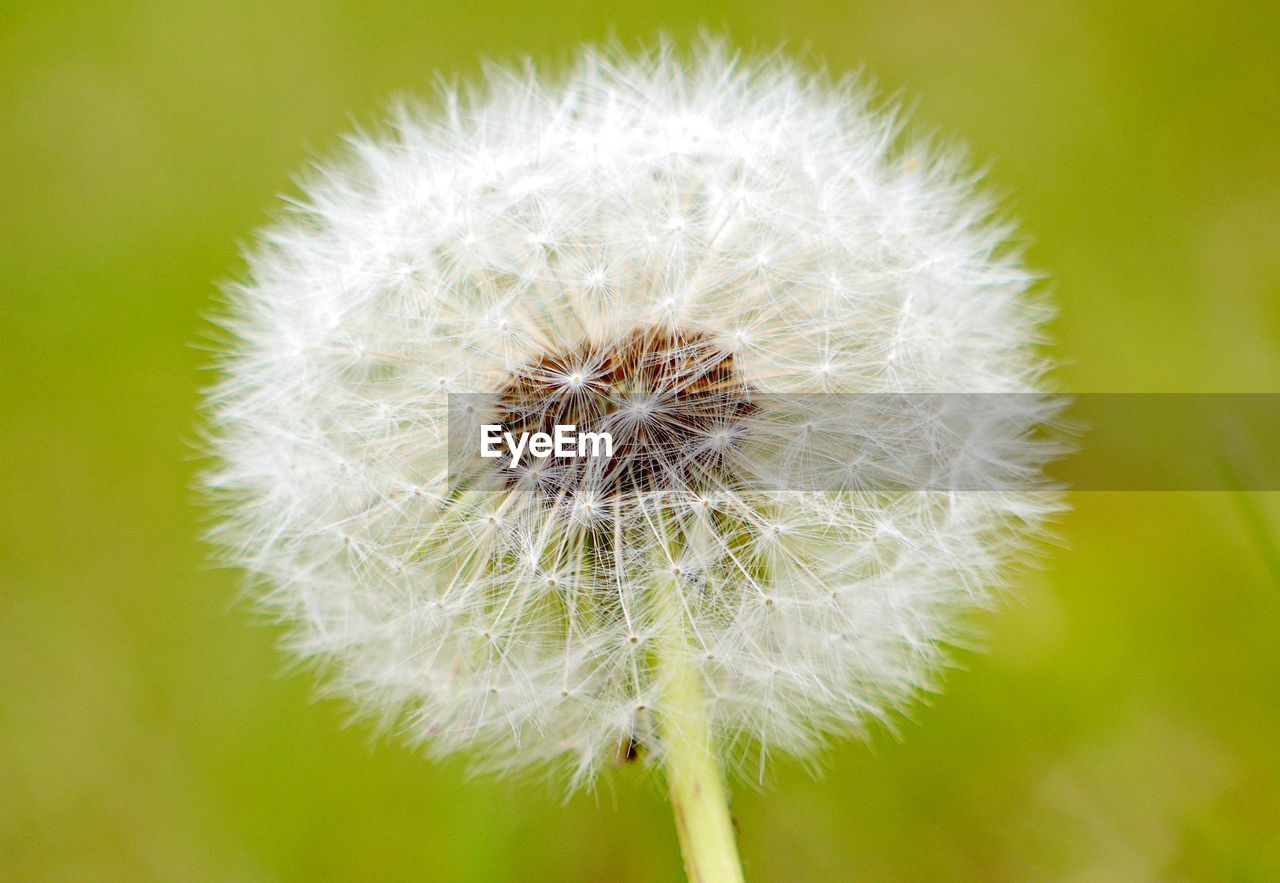 flower, fragility, dandelion, vulnerability, flowering plant, plant, freshness, close-up, beauty in nature, focus on foreground, growth, flower head, inflorescence, no people, nature, day, white color, outdoors, dandelion seed, softness