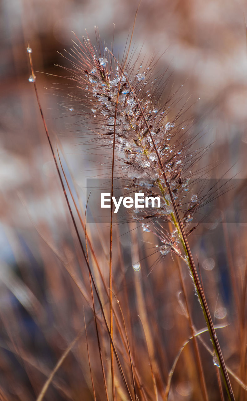 plant, close-up, nature, focus on foreground, day, growth, no people, fragility, selective focus, beauty in nature, vulnerability, dry, land, tranquility, outdoors, field, brown, water, plant stem, dead plant, softness, wilted plant, dandelion seed