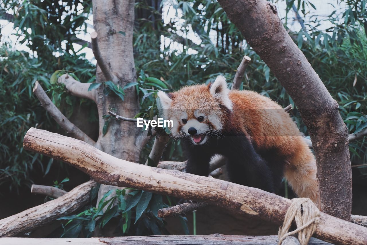 tree, animal wildlife, animals in the wild, animal themes, plant, animal, one animal, red panda, branch, panda - animal, mammal, vertebrate, no people, focus on foreground, tree trunk, nature, trunk, wood - material, day, zoo, outdoors