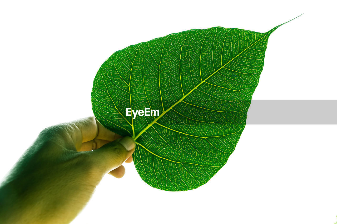 Close-up of hand holding leaf against white background