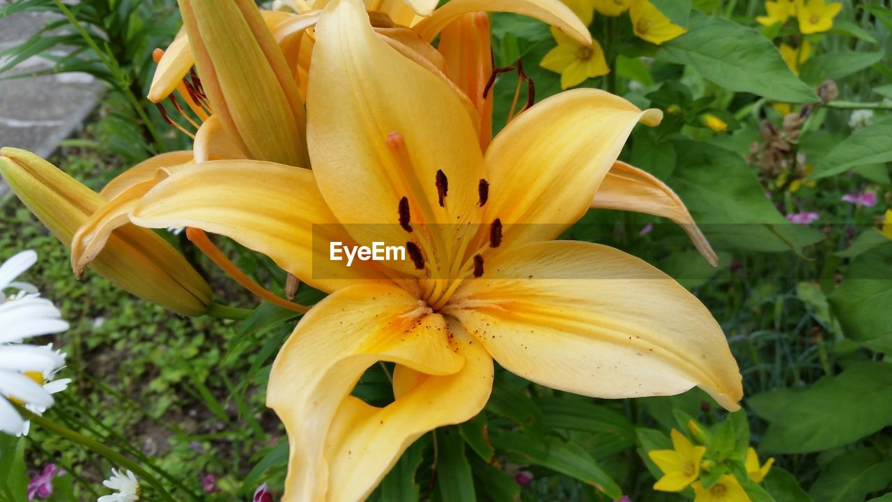 flower, petal, freshness, yellow, fragility, growth, flower head, beauty in nature, nature, close-up, no people, day, day lily, plant, outdoors, blooming