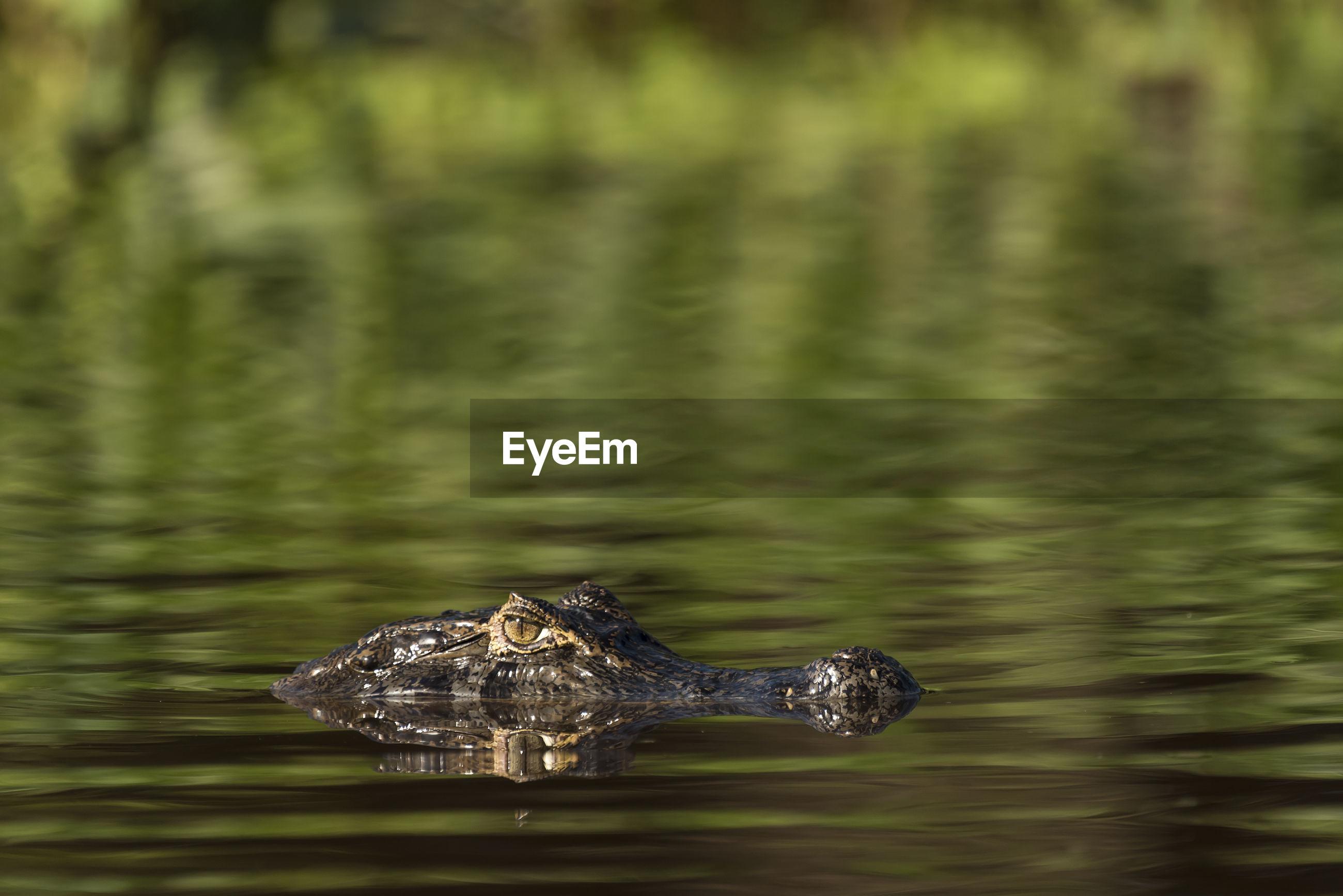 Close-up of alligator swimming in lake
