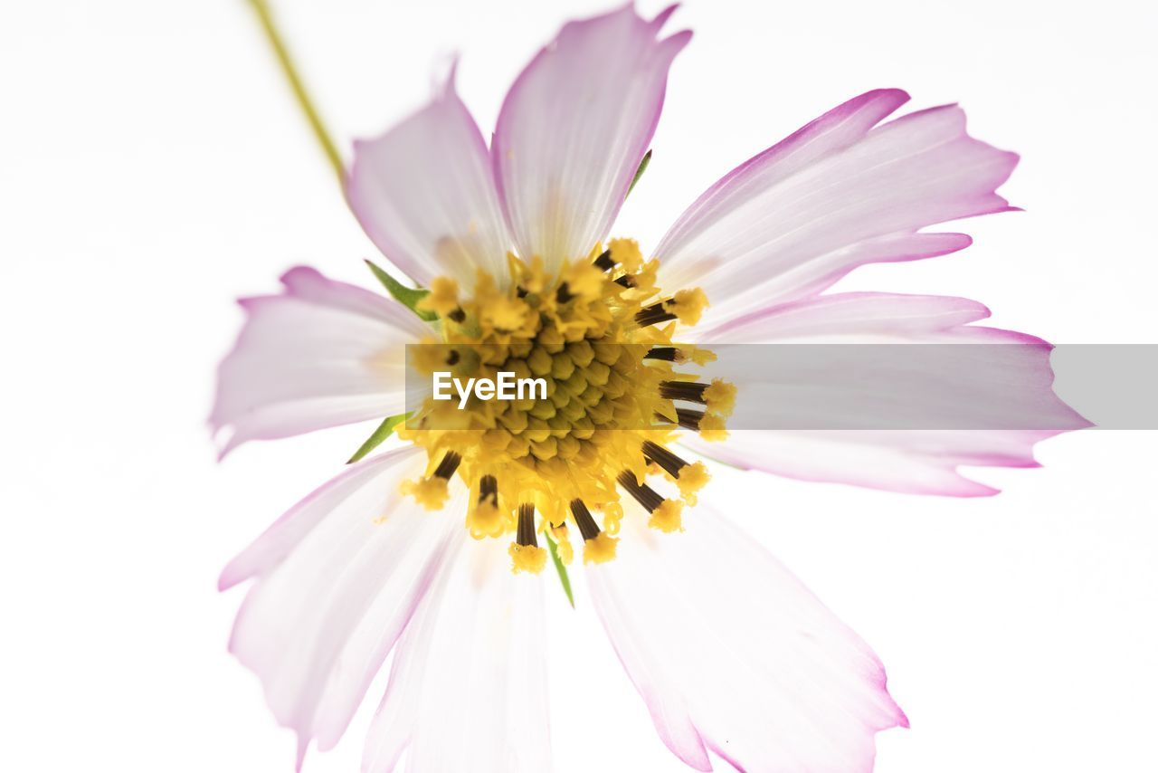 flower, flowering plant, vulnerability, fragility, petal, freshness, flower head, beauty in nature, inflorescence, yellow, plant, studio shot, close-up, growth, pollen, white background, pink color, cosmos flower, nature, no people, purple, gazania