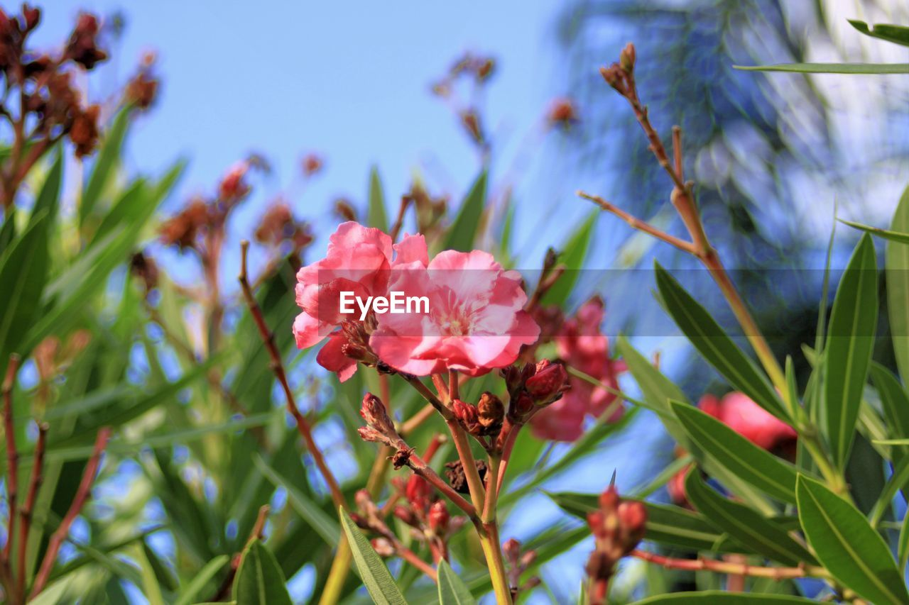 flowering plant, flower, plant, growth, beauty in nature, fragility, vulnerability, freshness, petal, close-up, nature, pink color, no people, day, flower head, inflorescence, plant part, green color, focus on foreground, outdoors, pollen
