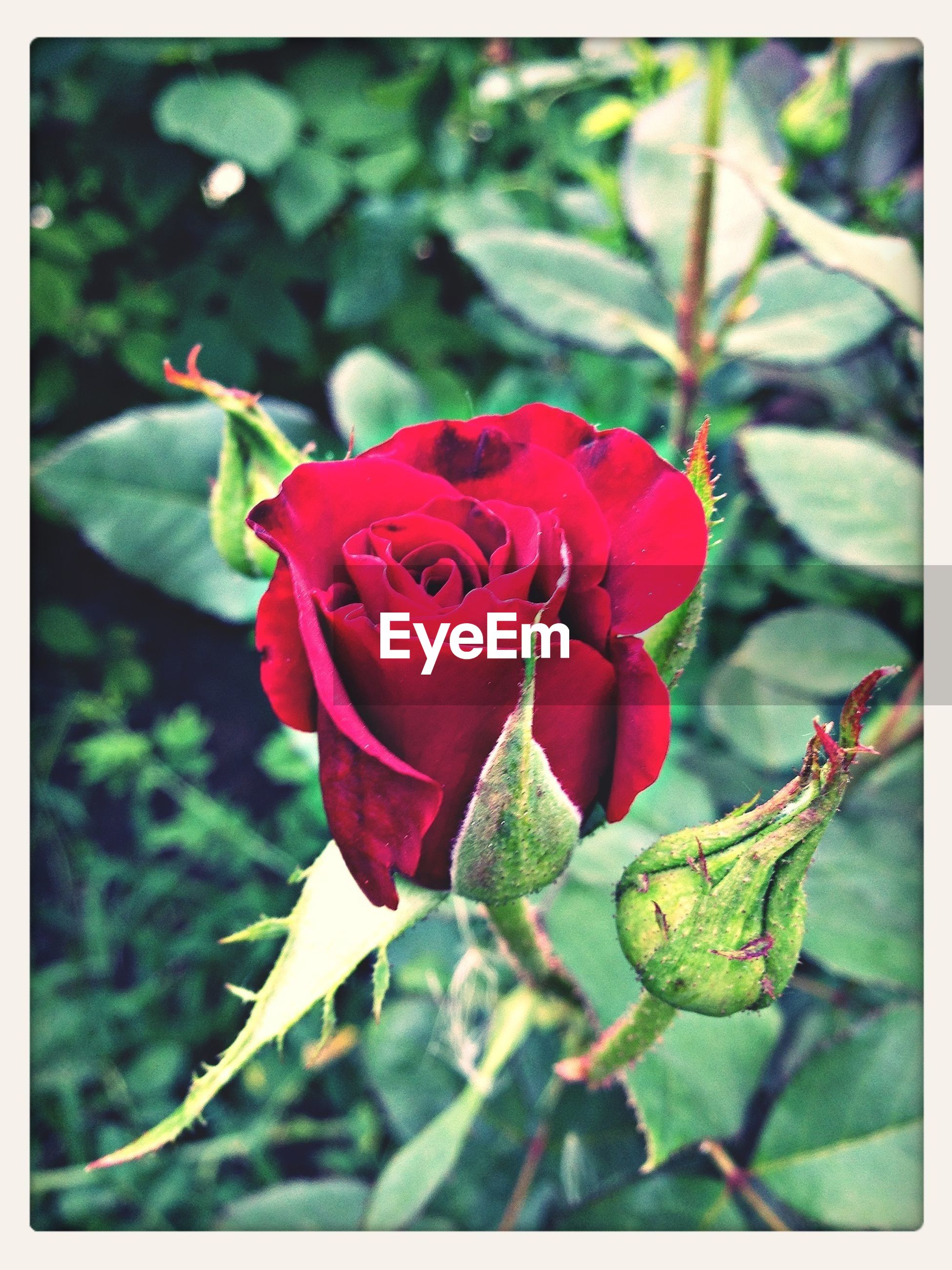 transfer print, flower, freshness, petal, red, growth, leaf, fragility, auto post production filter, close-up, flower head, beauty in nature, plant, focus on foreground, rose - flower, nature, blooming, bud, rose, single flower