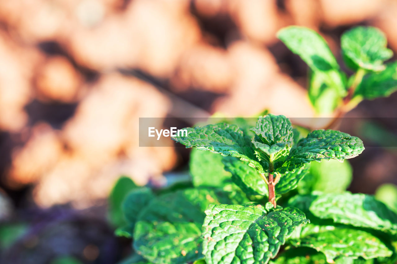 green color, leaf, plant part, close-up, growth, plant, herb, nature, focus on foreground, day, no people, selective focus, food, beauty in nature, freshness, mint leaf - culinary, food and drink, outdoors, vegetable, tranquility, leaves