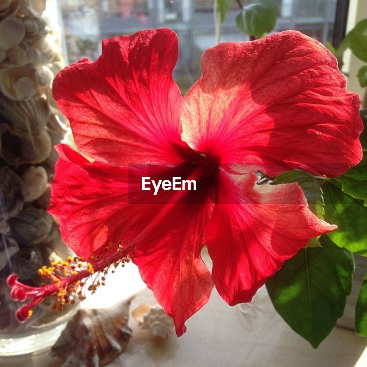 flower, red, petal, fragility, hibiscus, beauty in nature, flower head, nature, freshness, no people, close-up, plant, day, growth, outdoors, blooming