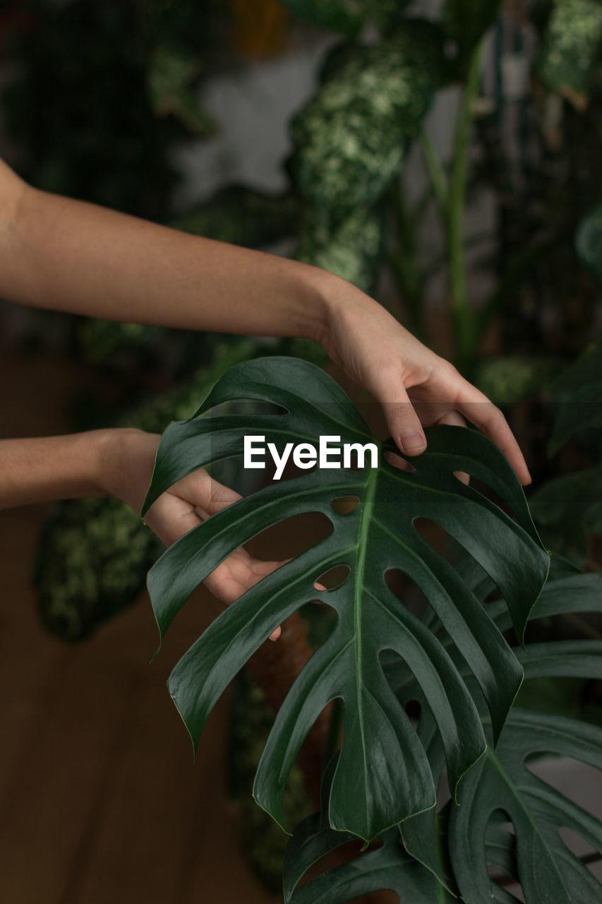 Woman gardener touching lush green monstera leaves in green house. love of plants.