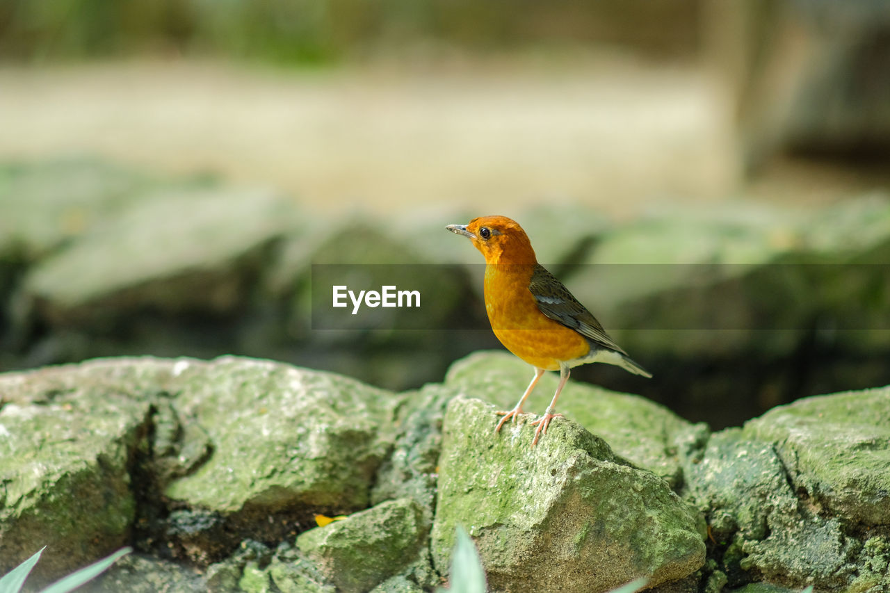 animal themes, animal, animals in the wild, animal wildlife, one animal, bird, vertebrate, perching, rock, rock - object, solid, day, focus on foreground, robin, no people, close-up, orange color, outdoors, nature, selective focus