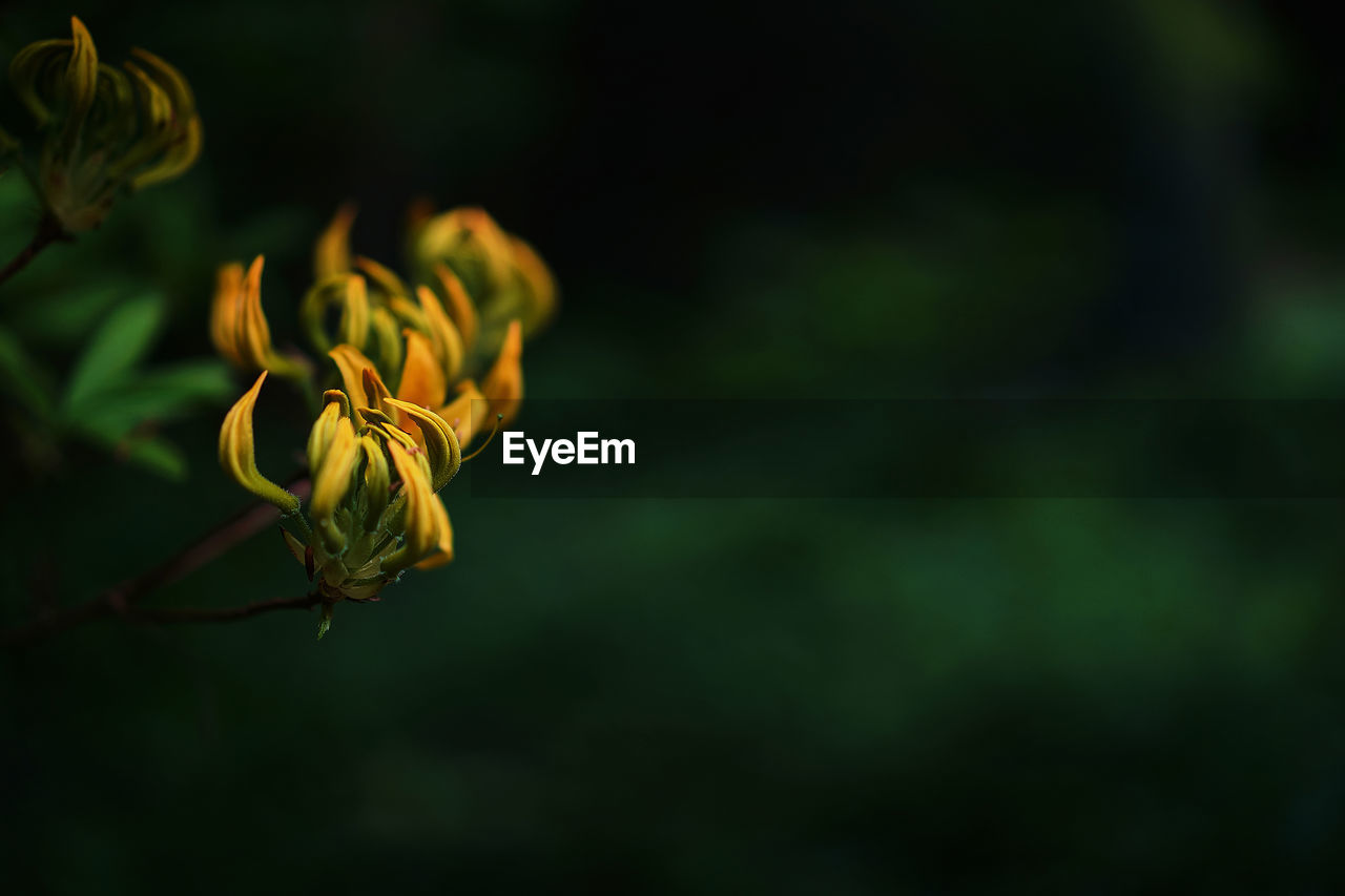 flower, flowering plant, plant, beauty in nature, vulnerability, fragility, freshness, close-up, growth, inflorescence, flower head, petal, no people, focus on foreground, nature, yellow, green color, outdoors, bud, selective focus, sepal