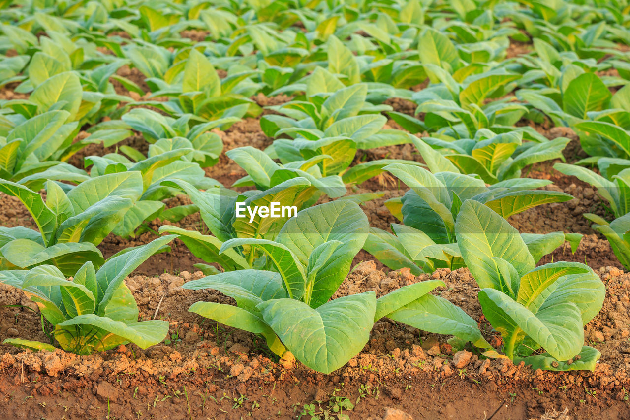 growth, green color, leaf, plant part, field, plant, land, beauty in nature, nature, no people, day, agriculture, food and drink, food, freshness, tranquility, outdoors, vegetable, in a row, crop, gardening, plantation
