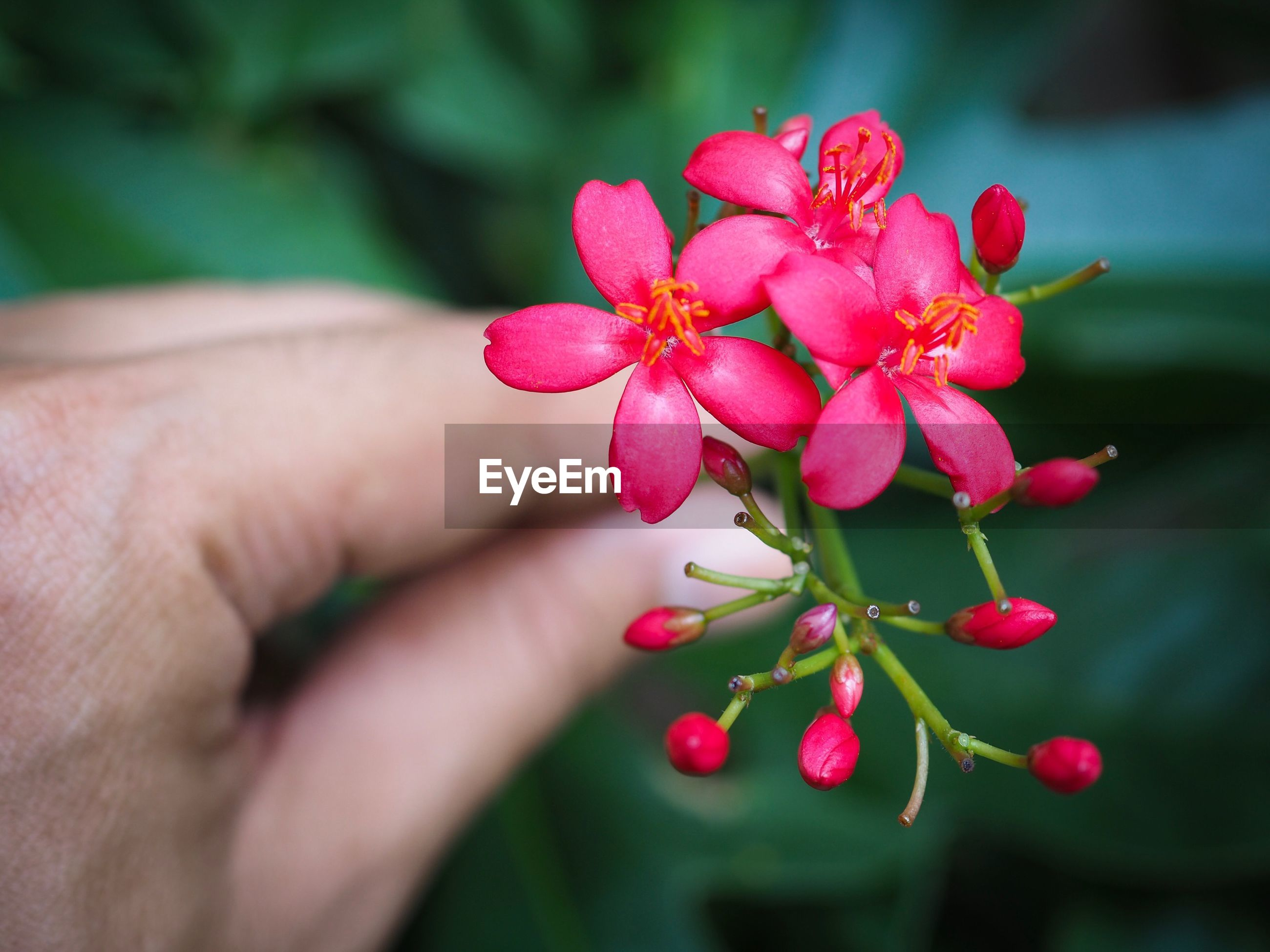 Close-up of hand holding pink flowers