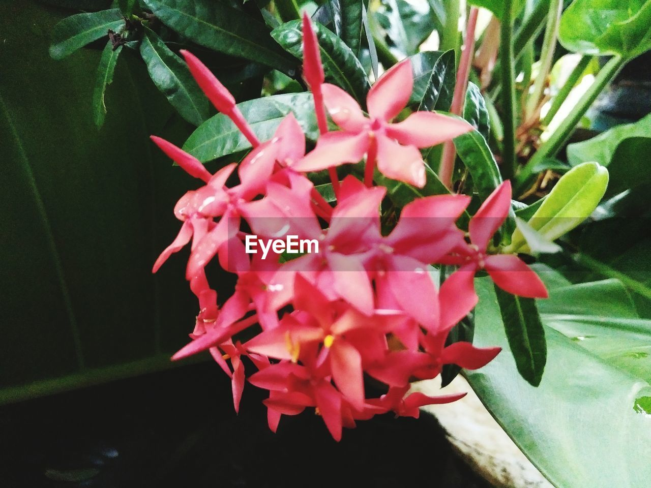 growth, beauty in nature, petal, nature, freshness, plant, fragility, flower, ixora, flower head, no people, blooming, day, pink color, close-up, outdoors, periwinkle