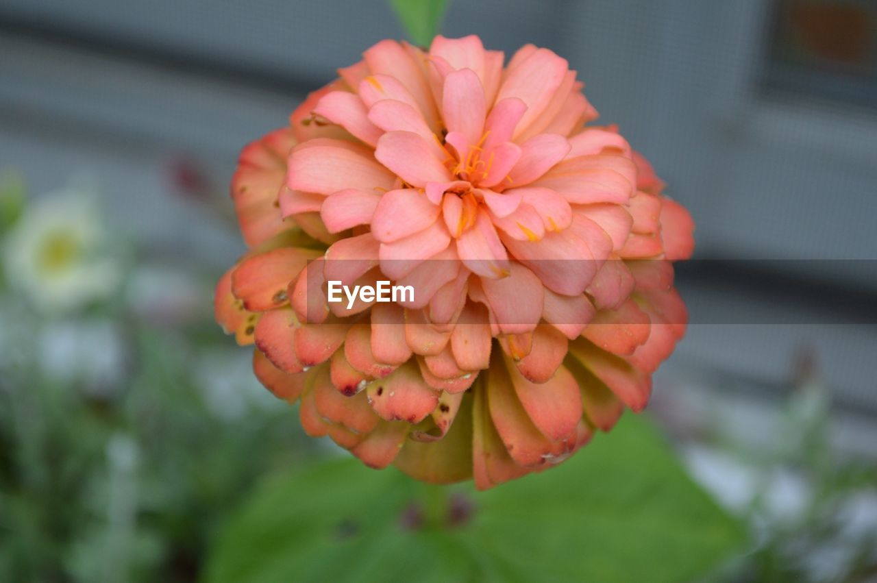 flower, petal, beauty in nature, growth, flower head, fragility, nature, freshness, blooming, focus on foreground, orange color, day, plant, outdoors, close-up, no people, zinnia