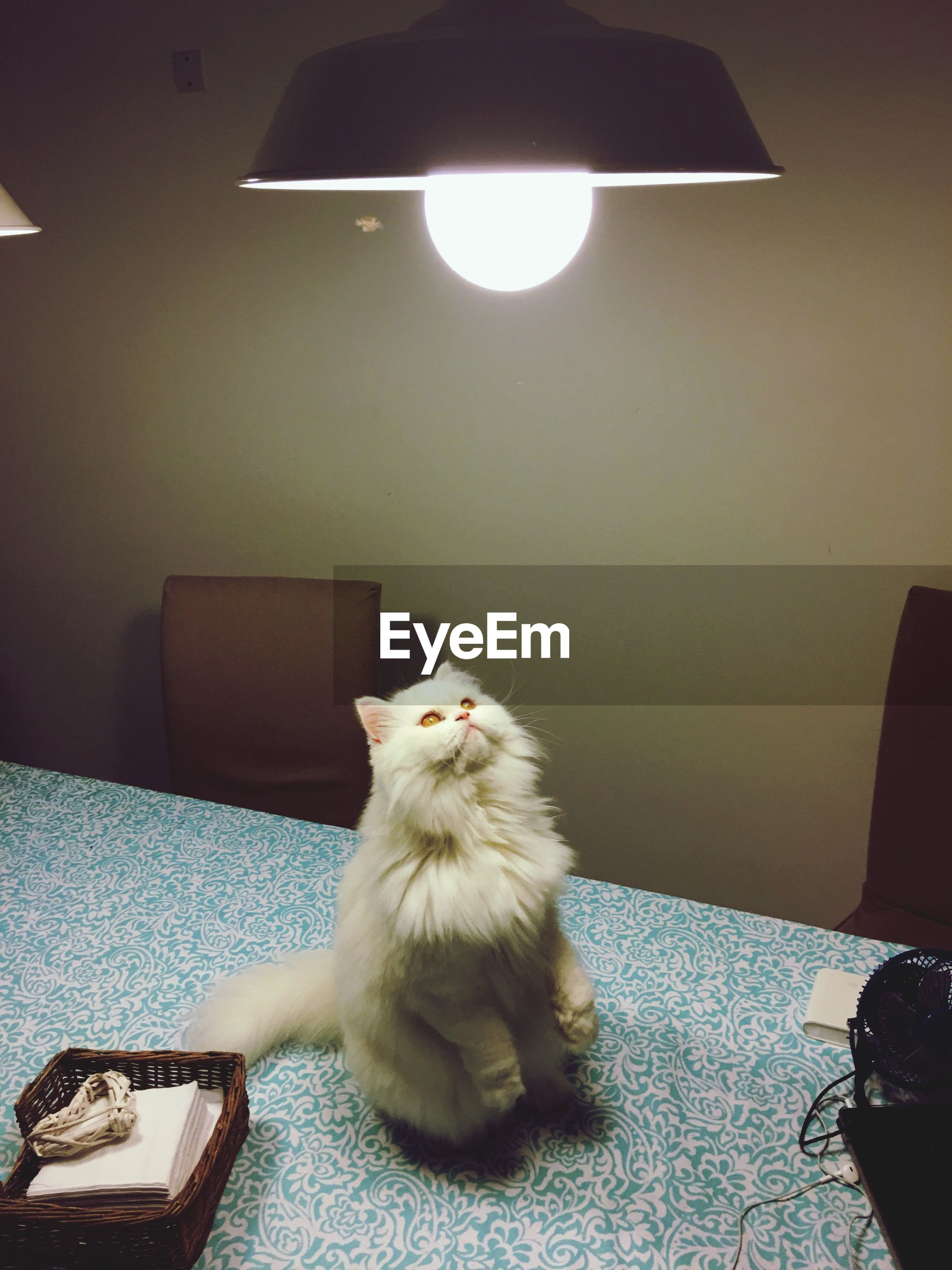 Funny curious cat at home