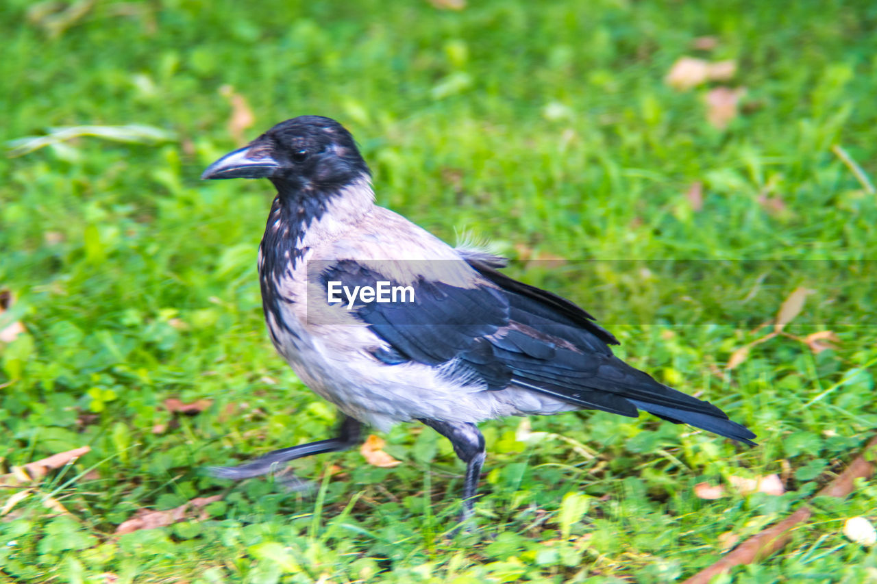 one animal, animal, vertebrate, animals in the wild, animal themes, bird, grass, animal wildlife, plant, no people, day, green color, nature, field, land, black color, close-up, outdoors, focus on foreground, perching