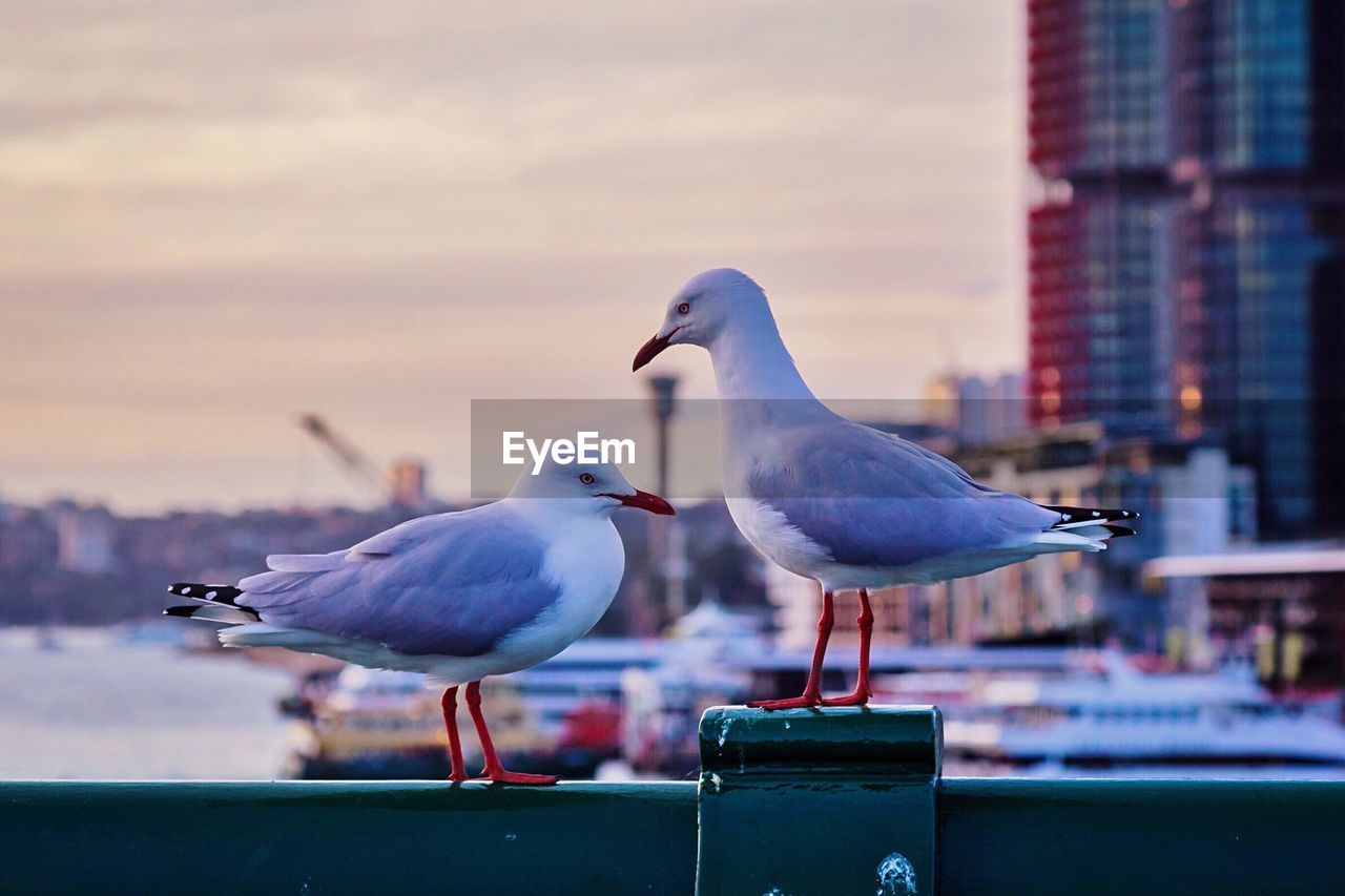 Close-up of seagull perching against sky
