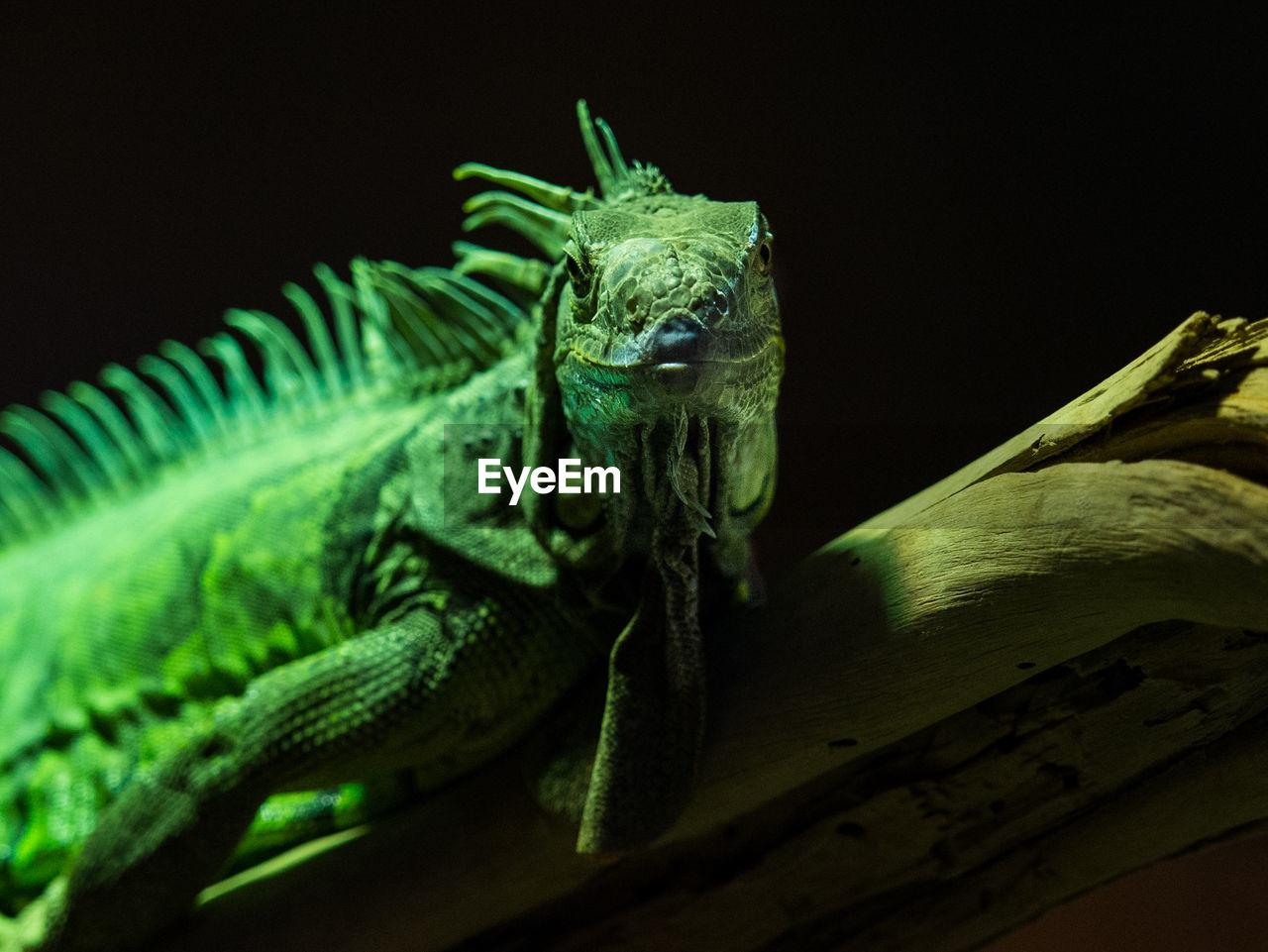 Close-Up Of Iguana On Log At Zoo