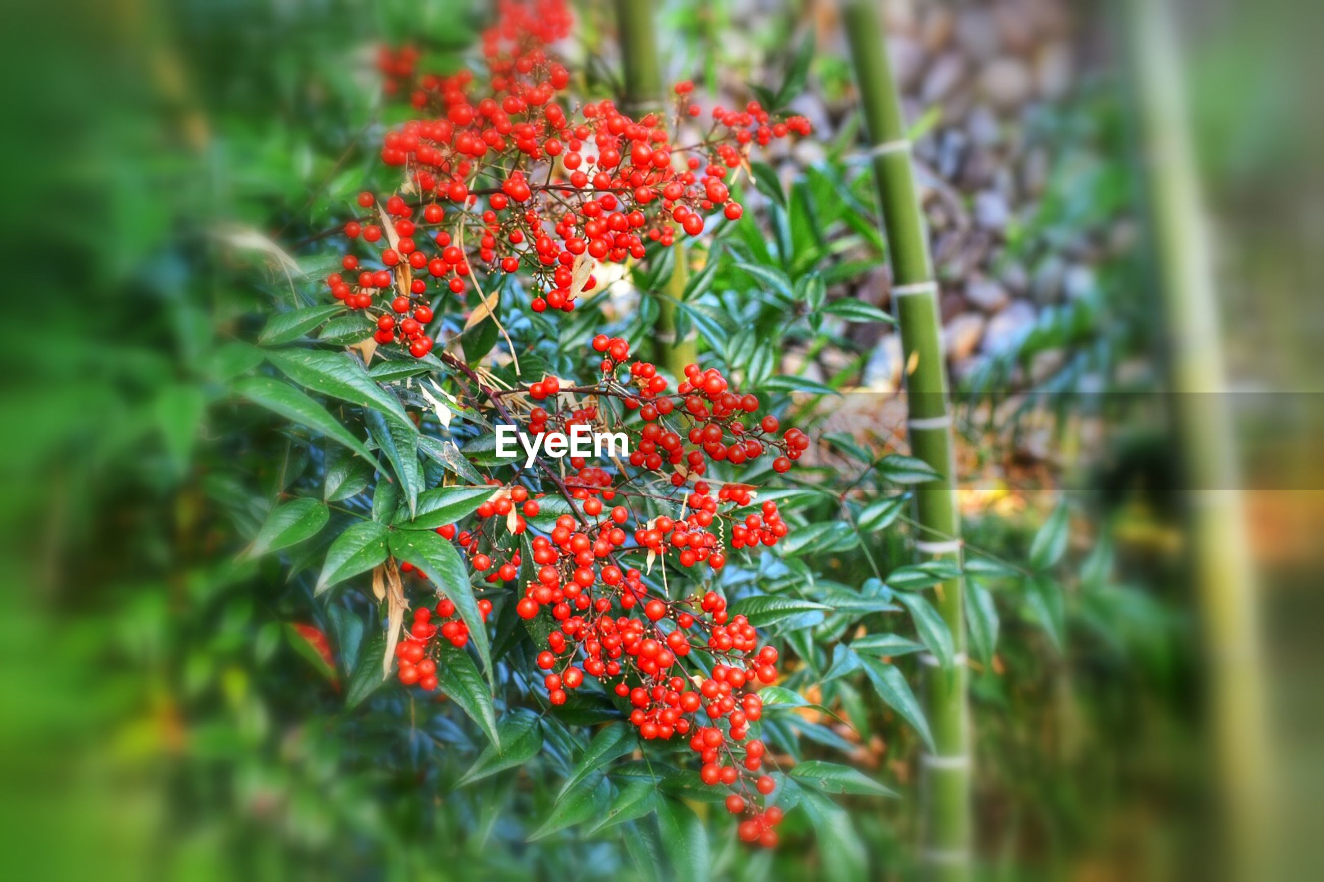 Red cherries on tree