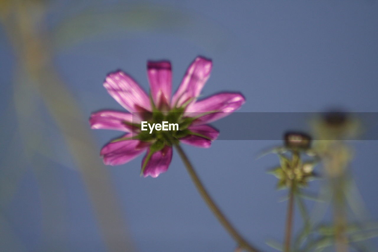 flower, petal, nature, fragility, growth, plant, beauty in nature, flower head, freshness, no people, cosmos flower, blooming, close-up, outdoors, day