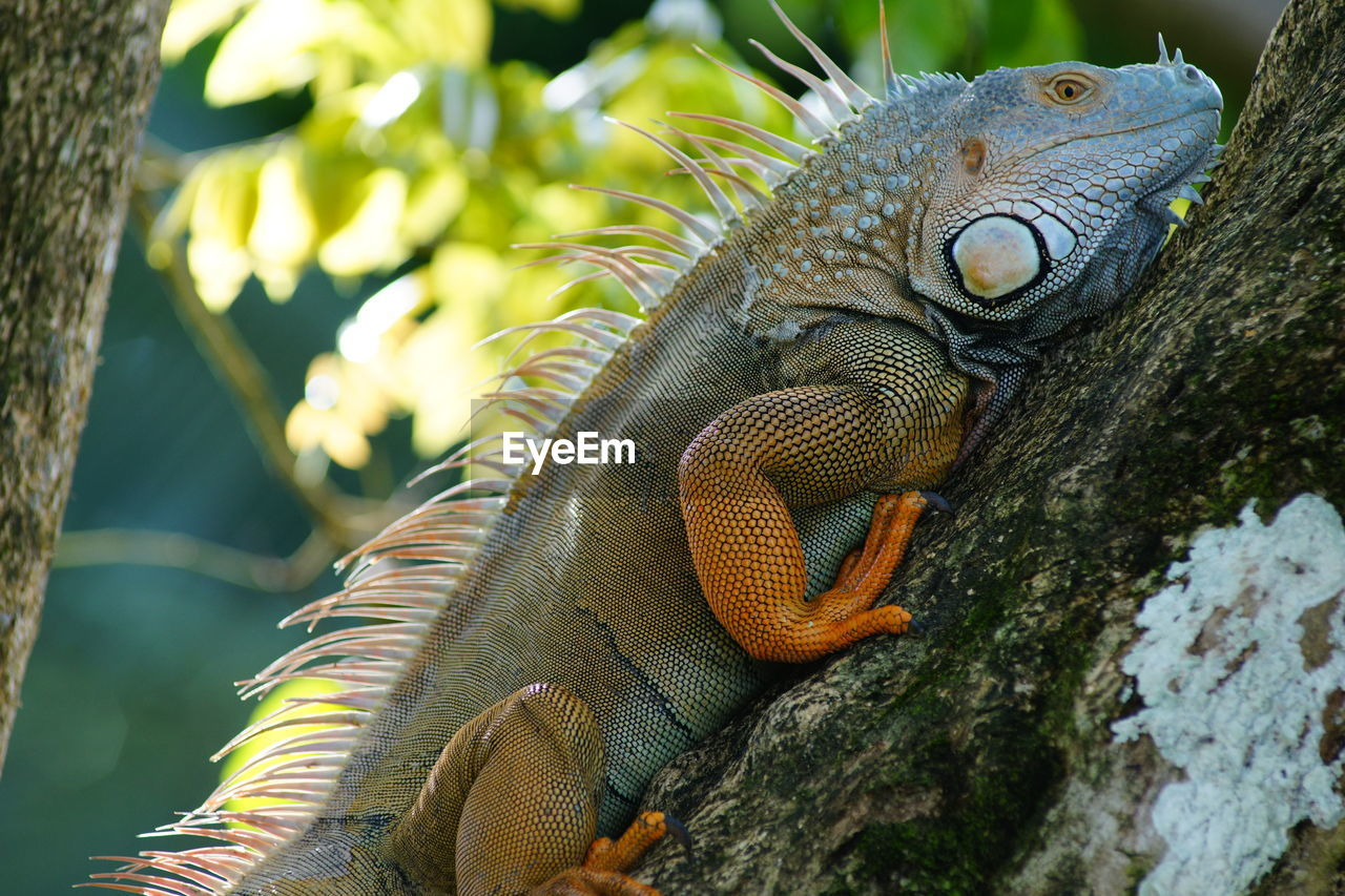 Side view of iguana on tree