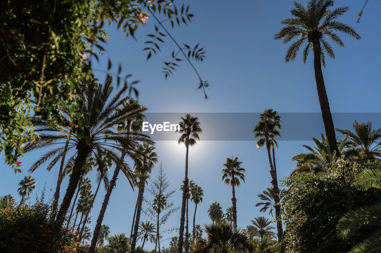 plant, tree, palm tree, sky, tropical climate, growth, low angle view, beauty in nature, nature, no people, tall - high, tranquility, tree trunk, clear sky, trunk, scenics - nature, coconut palm tree, silhouette, outdoors, tranquil scene, tropical tree, palm leaf