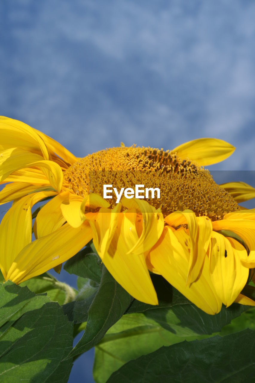 yellow, flower, flowering plant, plant, beauty in nature, fragility, vulnerability, freshness, flower head, petal, growth, inflorescence, close-up, nature, sunflower, sky, cloud - sky, day, no people, leaf, pollen, outdoors