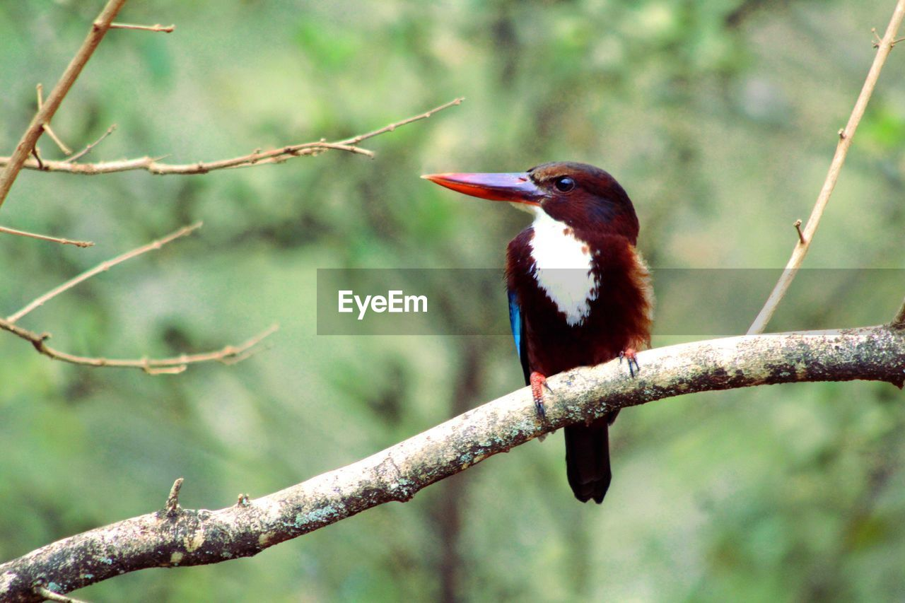 animal themes, one animal, animal wildlife, animals in the wild, animal, vertebrate, bird, tree, perching, plant, branch, focus on foreground, no people, day, nature, close-up, outdoors, kingfisher, beauty in nature, beak, stick - plant part, mouth open