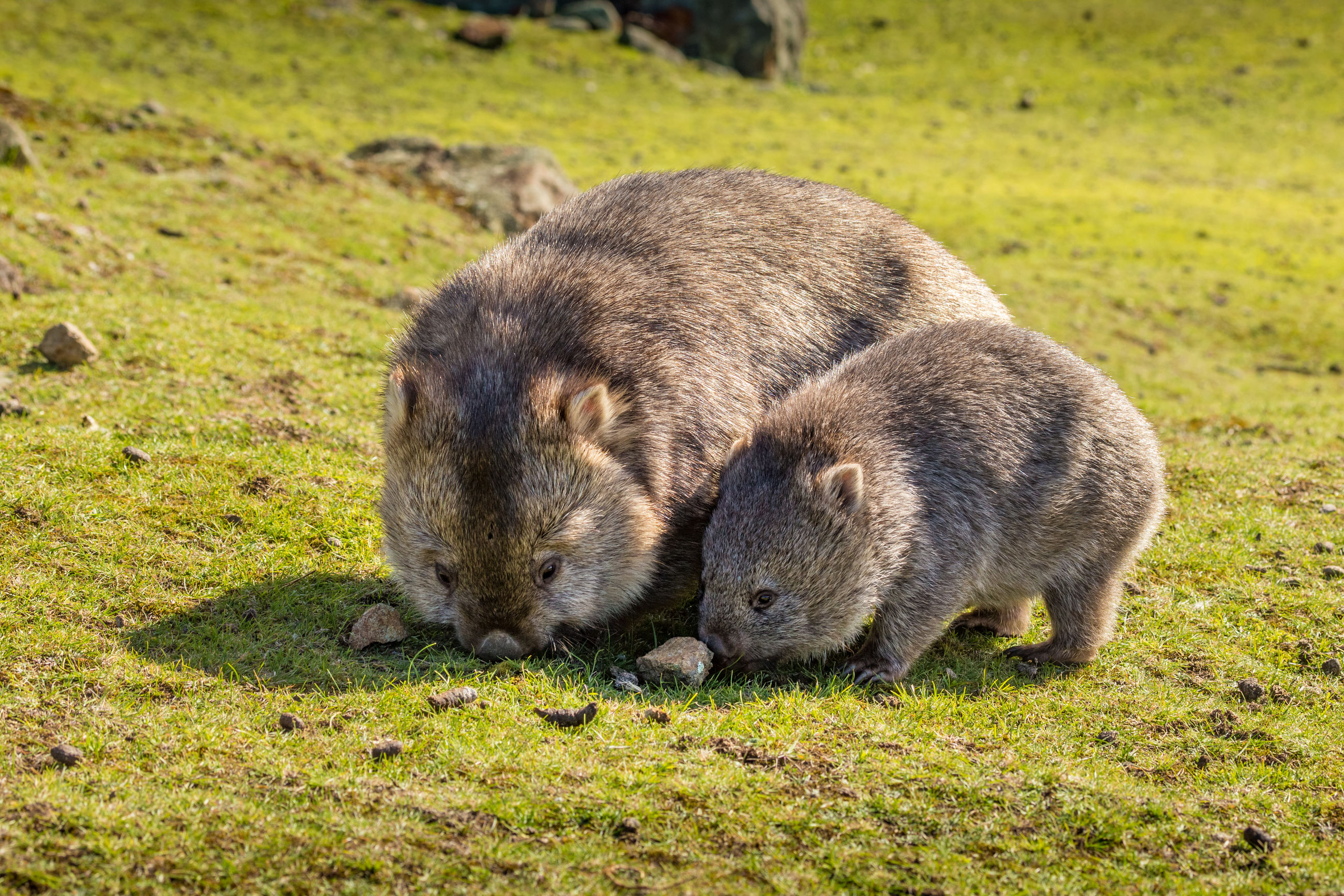 Close-up of marsupials grazing on field