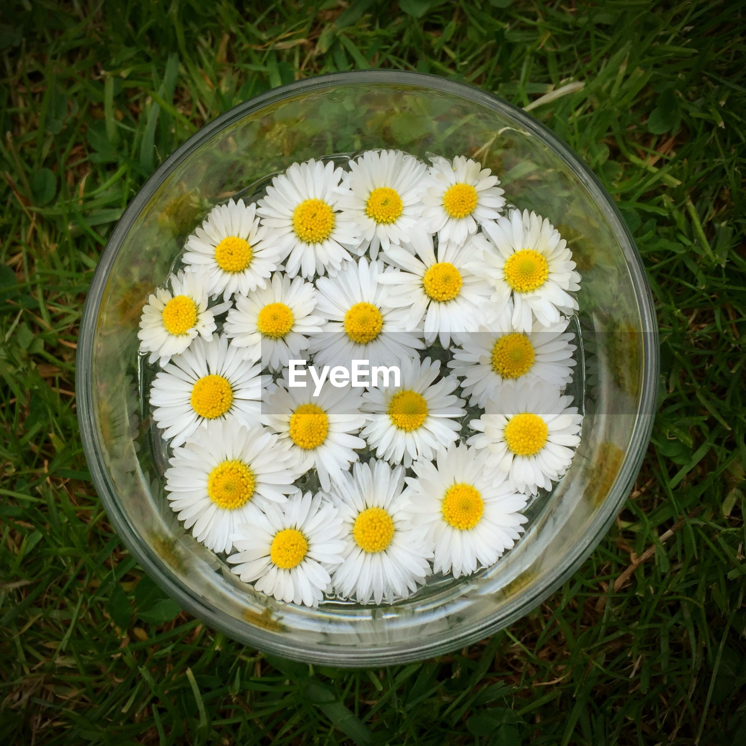 Directly above shot of daisy flowers in bowl