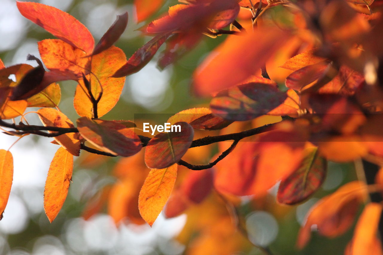 orange color, growth, nature, beauty in nature, flower, leaf, outdoors, autumn, petal, day, plant, freshness, close-up, no people, fragility, tree, flower head