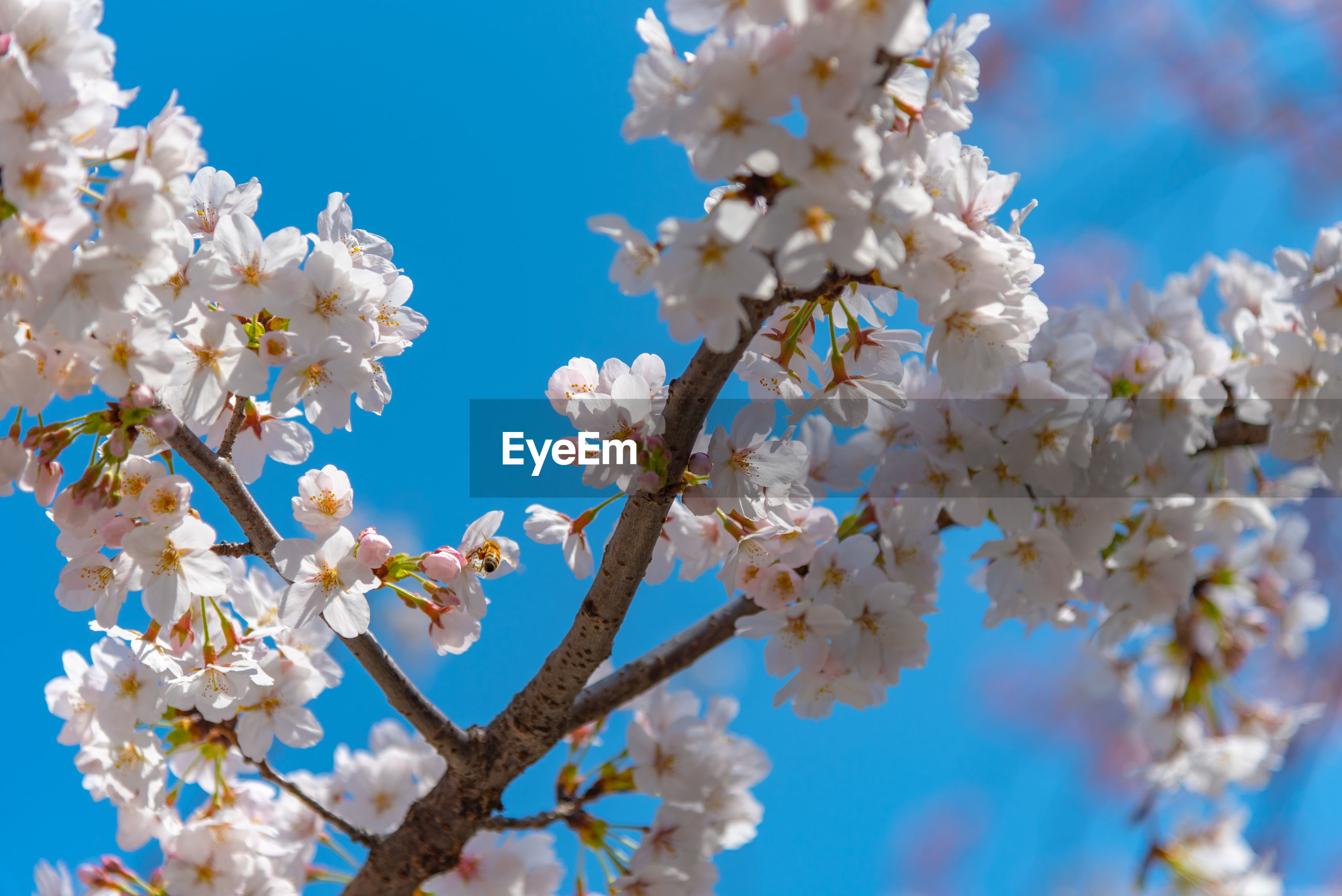 CLOSE-UP OF CHERRY BLOSSOM AGAINST BLUE SKY