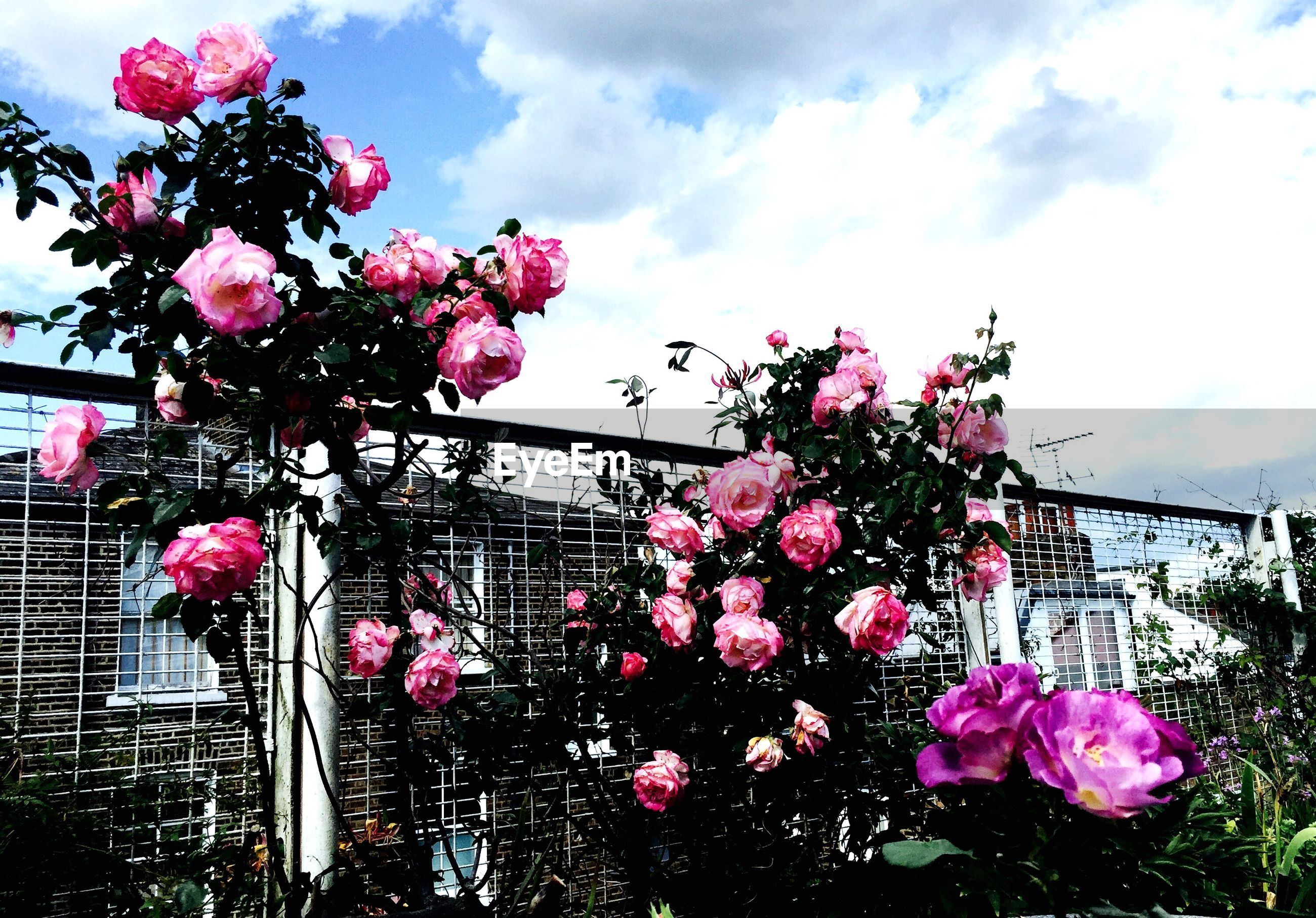 Low angle view of roses growing on plant by fence against cloudy sky