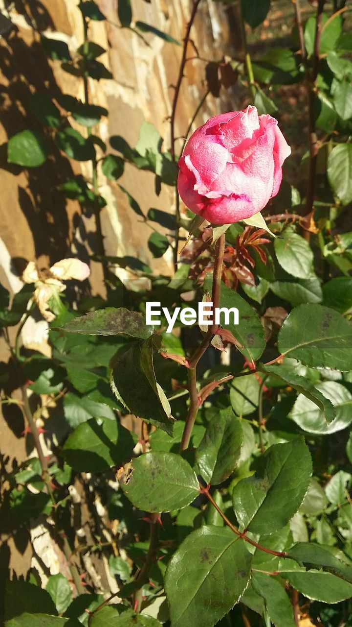 growth, flower, plant, nature, pink color, petal, leaf, fragility, beauty in nature, freshness, flower head, blooming, no people, green color, day, outdoors, close-up, periwinkle