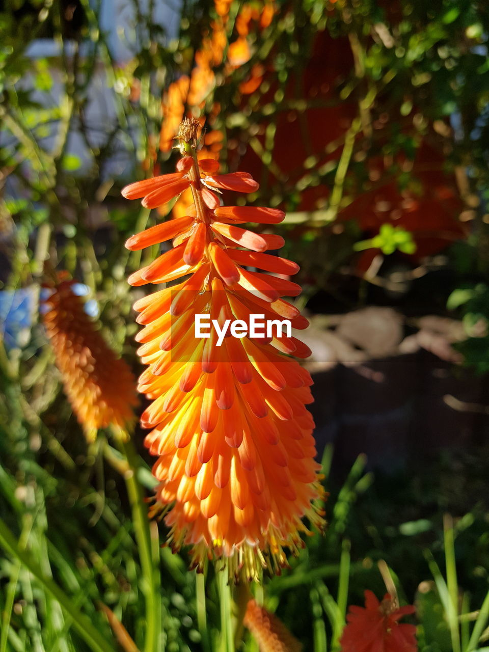 plant, orange color, beauty in nature, growth, close-up, nature, no people, vulnerability, flower, fragility, day, focus on foreground, flowering plant, freshness, autumn, petal, leaf, plant part, selective focus, flower head, outdoors, change, leaves