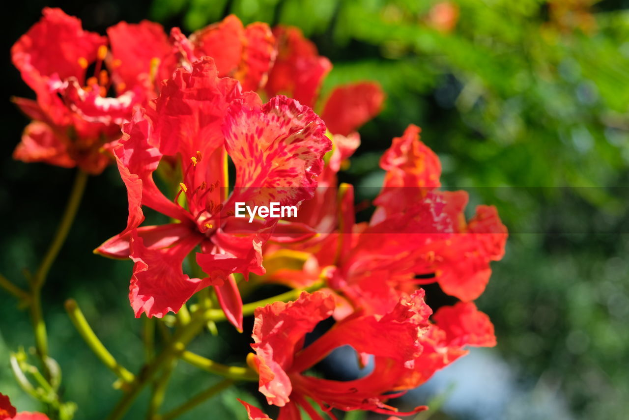 flowering plant, flower, fragility, vulnerability, petal, plant, red, beauty in nature, freshness, inflorescence, flower head, growth, close-up, day, no people, focus on foreground, nature, pollen, botany, selective focus, outdoors