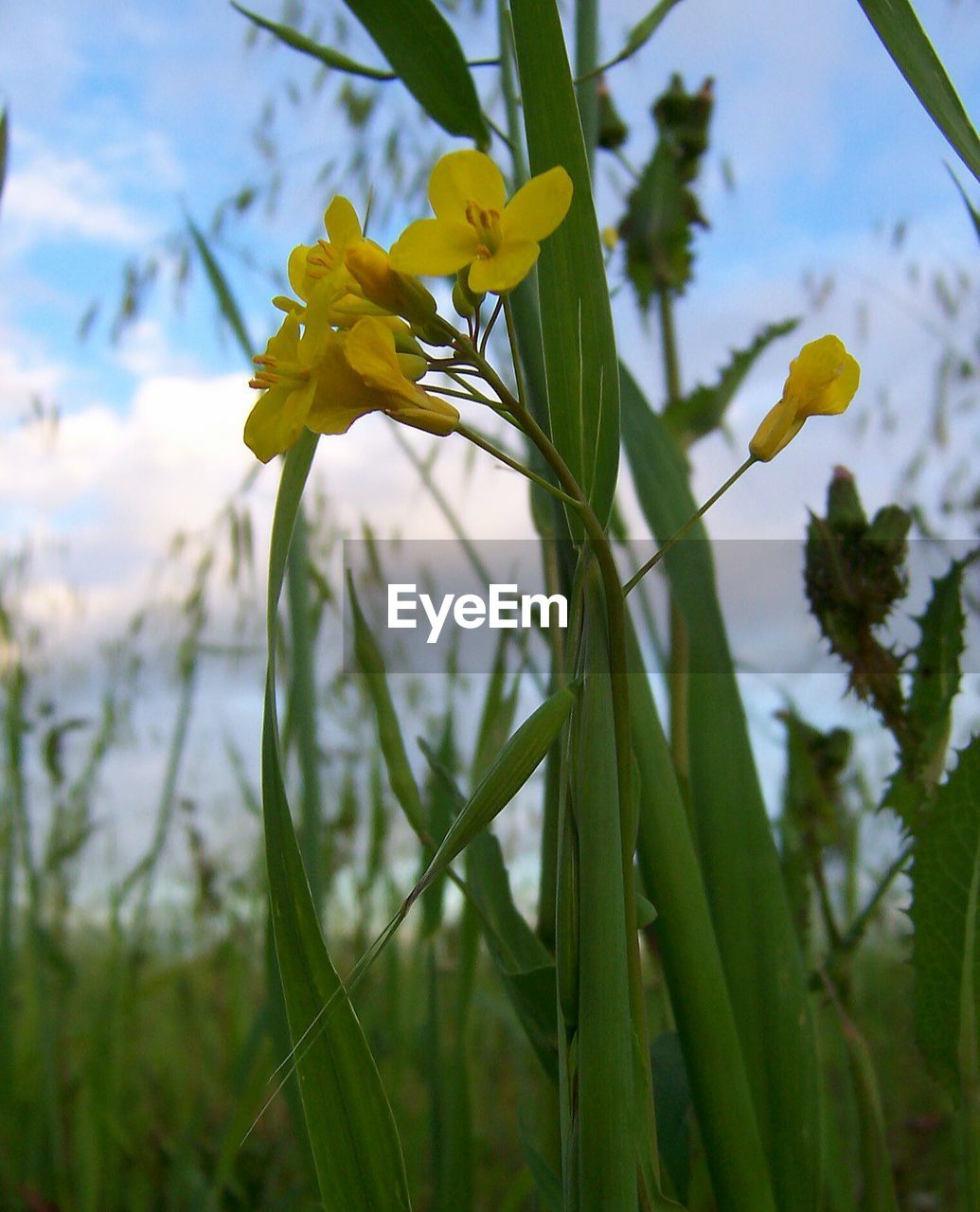 flower, growth, nature, beauty in nature, plant, petal, yellow, fragility, freshness, blooming, flower head, daffodil, no people, outdoors, day, close-up, sky