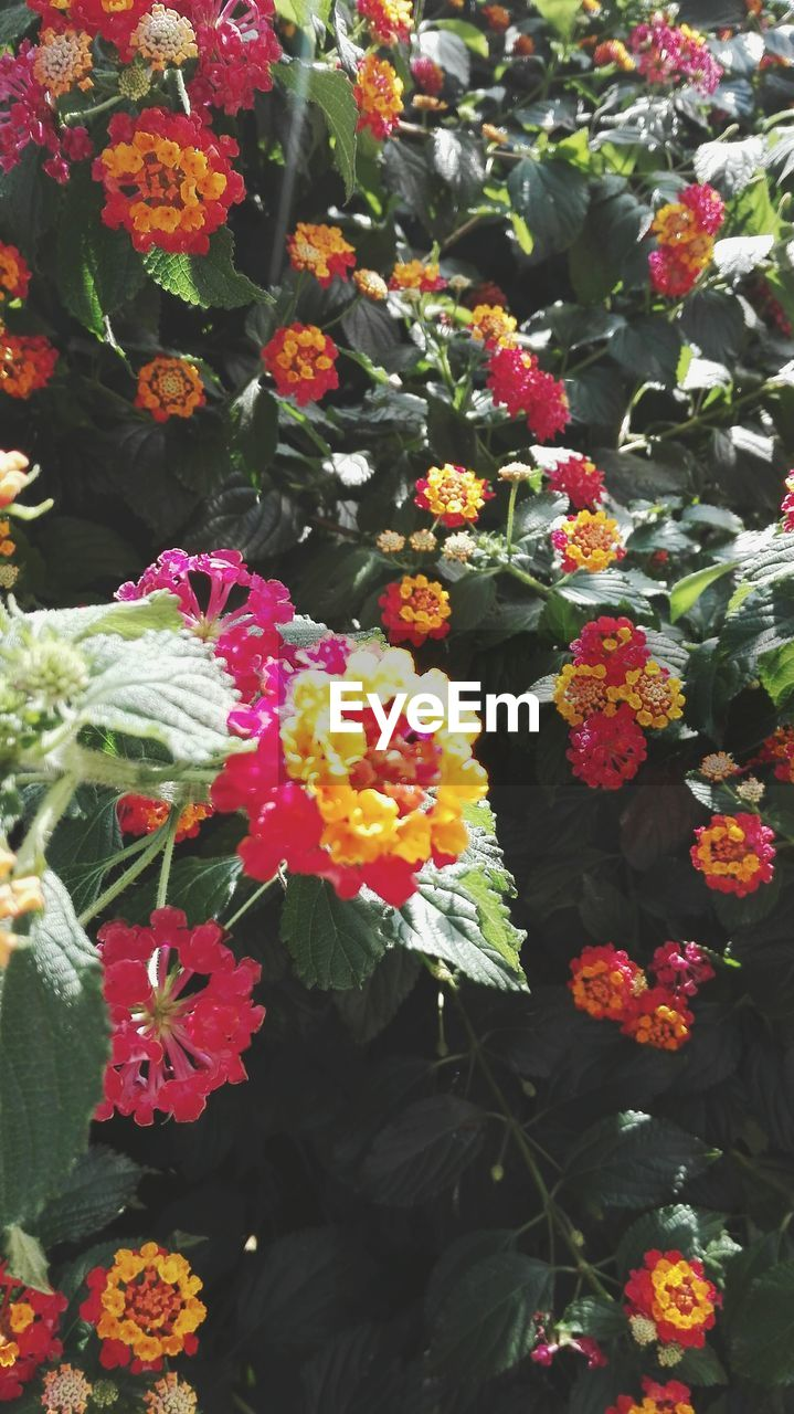 flower, fragility, growth, beauty in nature, nature, freshness, plant, petal, flower head, no people, day, outdoors, leaf, blooming, park - man made space, multi colored, lantana camara, close-up