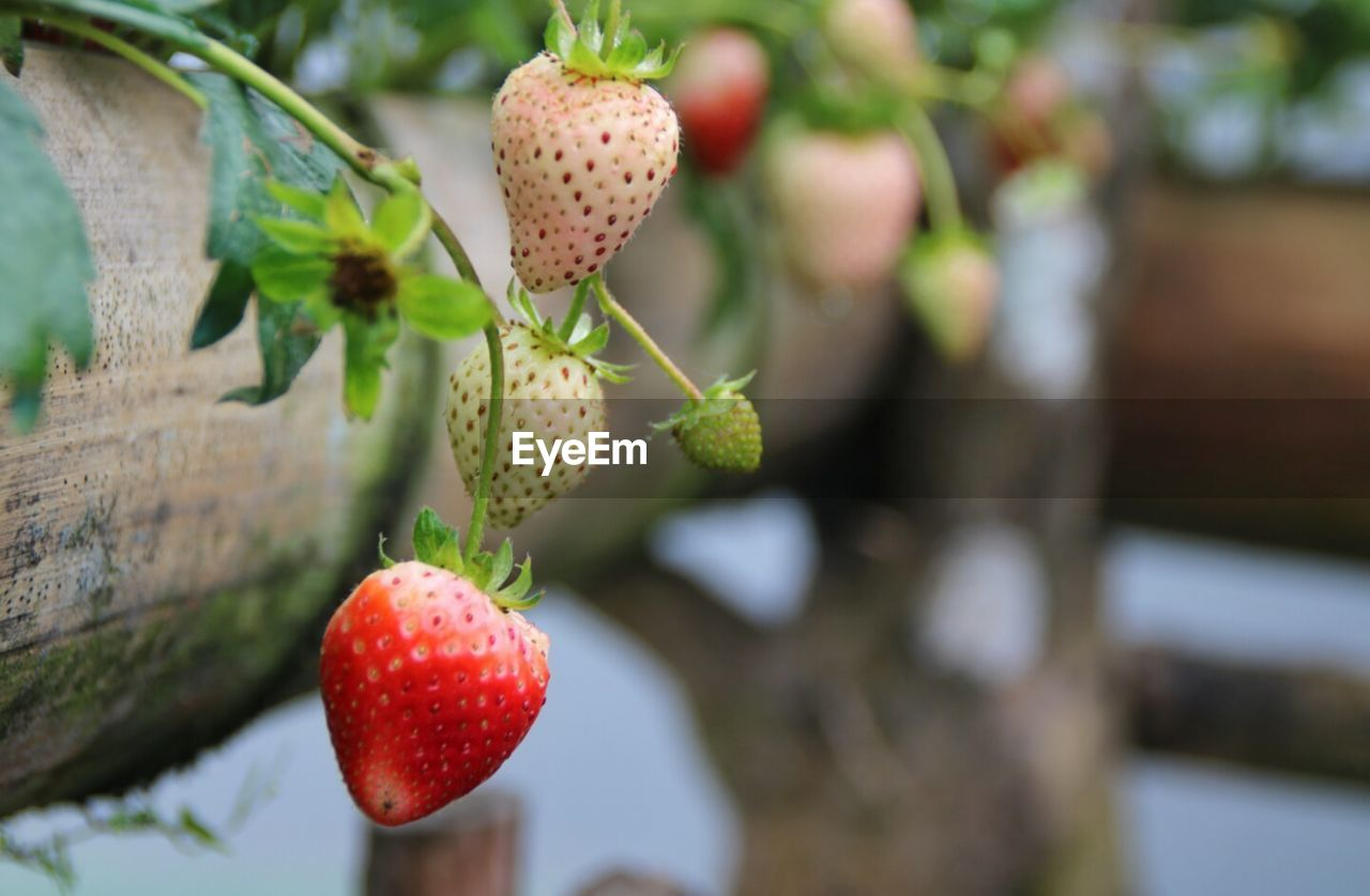 fruit, healthy eating, growth, freshness, focus on foreground, plant, food, red, food and drink, close-up, no people, day, berry fruit, wellbeing, nature, strawberry, beauty in nature, selective focus, outdoors, green color, ripe