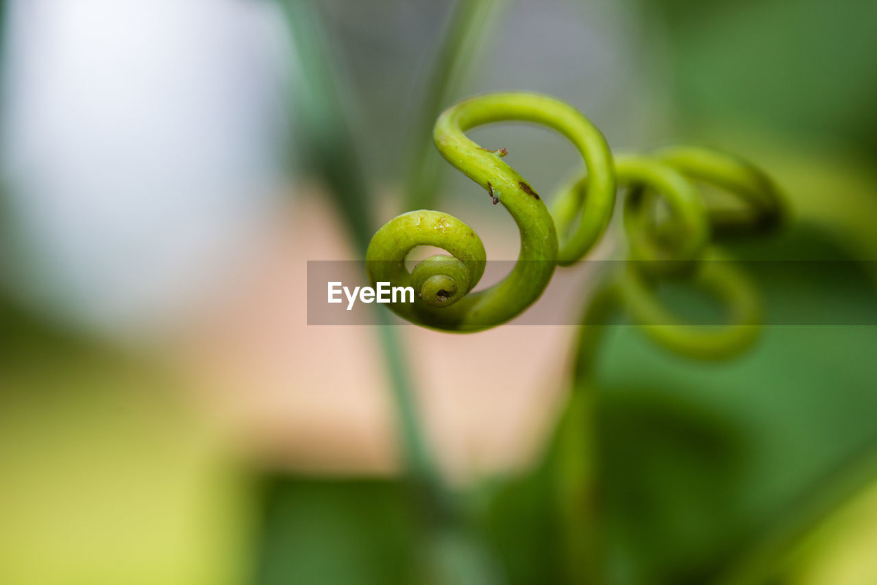 green color, growth, tendril, spiral, plant, selective focus, close-up, beauty in nature, curled up, focus on foreground, no people, day, nature, plant part, leaf, freshness, outdoors, fern, fragility, vulnerability
