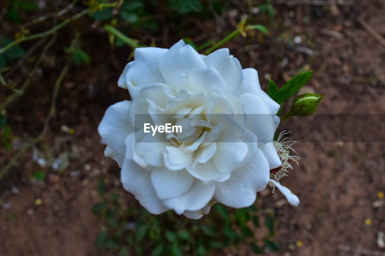 flower, petal, white color, flower head, nature, fragility, growth, close-up, beauty in nature, day, high angle view, plant, no people, freshness, focus on foreground, blooming, outdoors