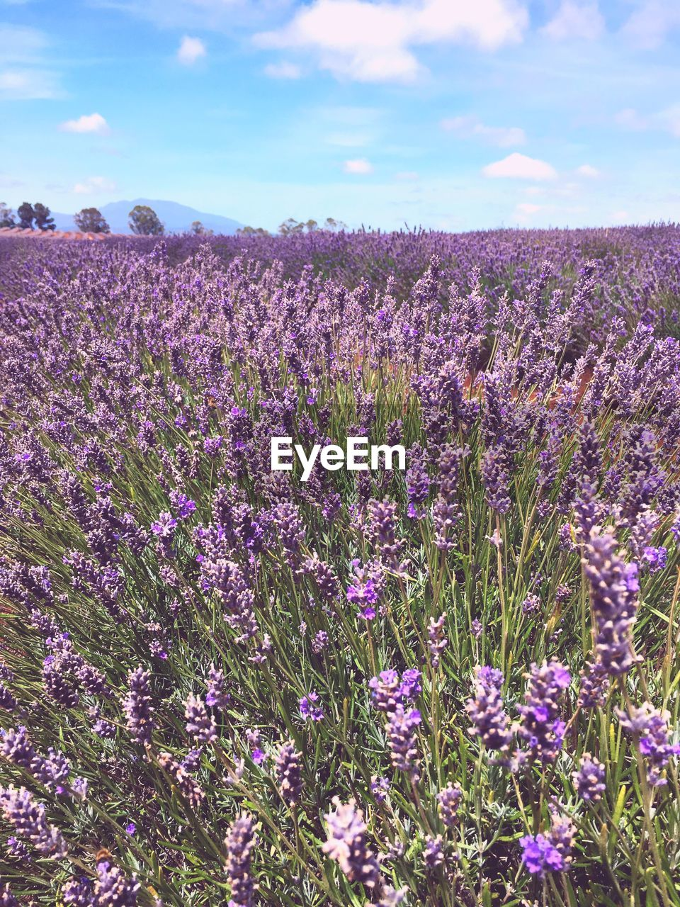 flower, flowering plant, beauty in nature, land, field, growth, plant, vulnerability, sky, fragility, freshness, purple, landscape, tranquility, scenics - nature, tranquil scene, nature, lavender, environment, day, no people, outdoors, flowerbed