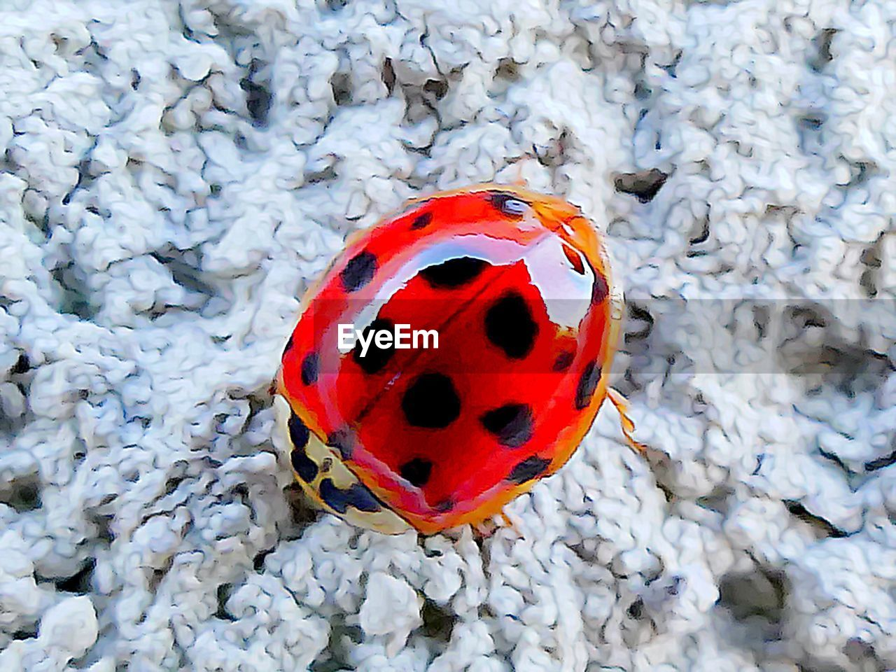 ladybug, insect, spotted, no people, animals in the wild, close-up, one animal, high angle view, red, tiny, animal themes, day, outdoors